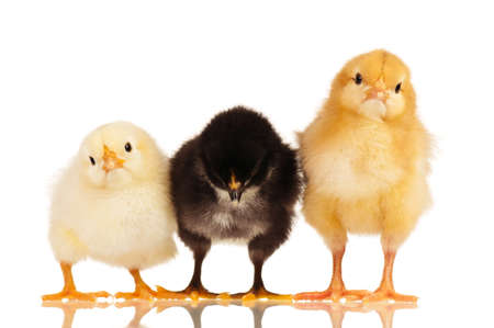 Three little chickens isolated on white background photo