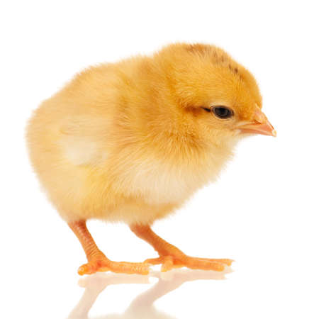 Cute little chicken isolated on white background photo