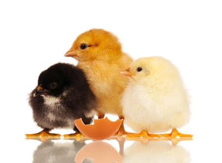 aves de corral: Tres pollitos aisladas sobre fondo blanco