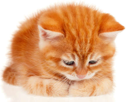 Cute little red kitten isolated on white background photo