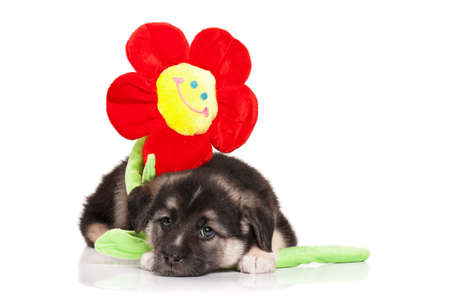 Cute puppy of 1,5 months old with toy flower on a white background photo