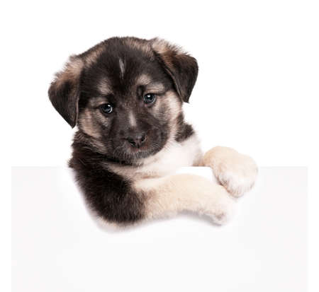 Cute puppy of 1,5 months old with empty board on a white background photo
