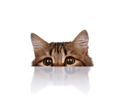 curious: Cute young Siberian cat on white background