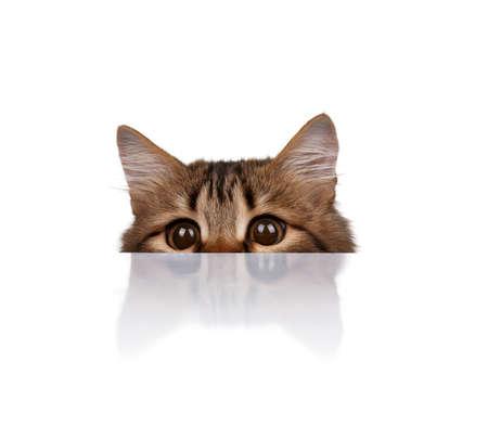 furry animals: Lindo gato siberiano joven sobre fondo blanco