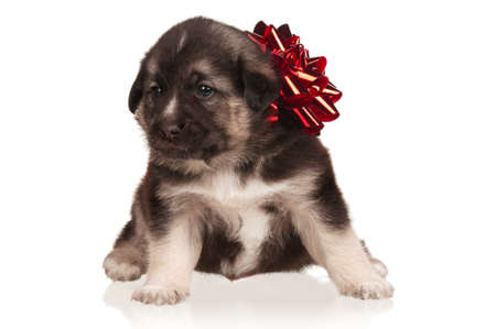 Cute puppy of 3 weeks old with red bow on a white background Stock Photo - 15274281