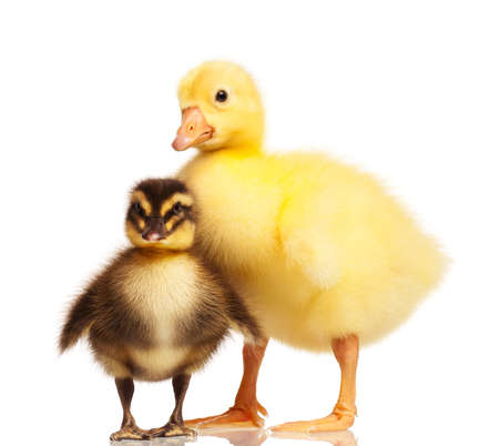 Cute domestic duckling and gosling isolated on white background photo