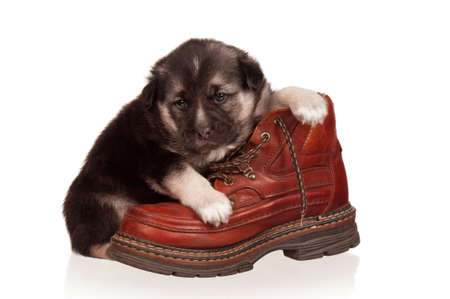 weenie: Cute puppy with old boot on a white background Stock Photo