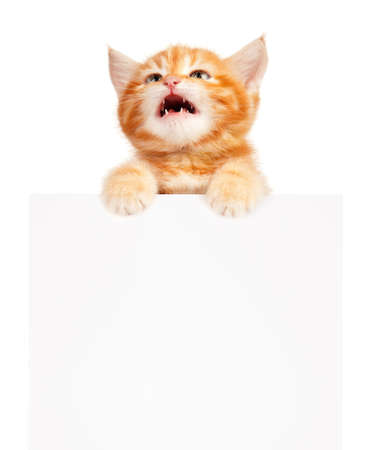 miaul: Cute little red kitten with empty board isolated on white background