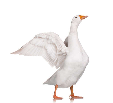 White domestic goose isolated on white background photo