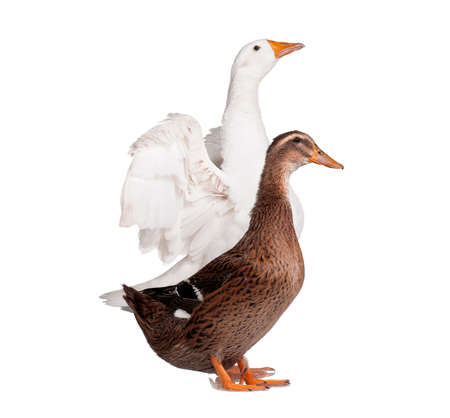out of production: White domestic goose and duck isolated on white background Stock Photo