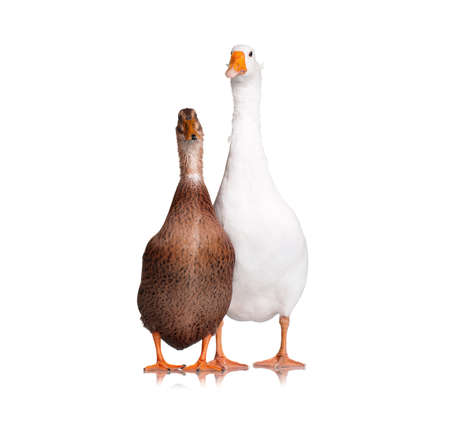 White domestic goose and duck isolated on white background photo
