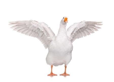 White domestic goose isolated on white background Imagens