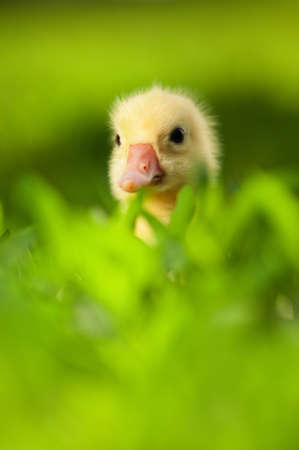 Cute little domestic gosling in green grass photo