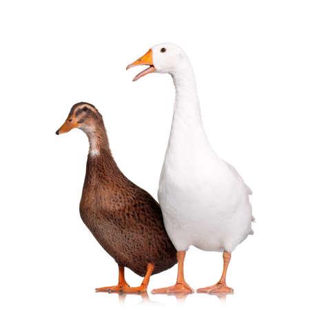 Ganso blanco doméstico y pato aislado en el fondo blanco