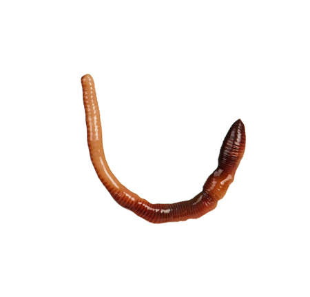 Big earth worm isolated on white background photo
