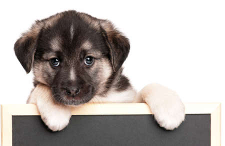 hounds: Cute puppy of 1,5 months old with a blackboard over white background Stock Photo
