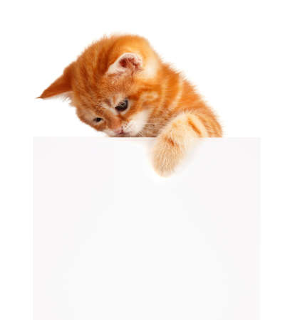 Cute little red kitten with empty board isolated on white background