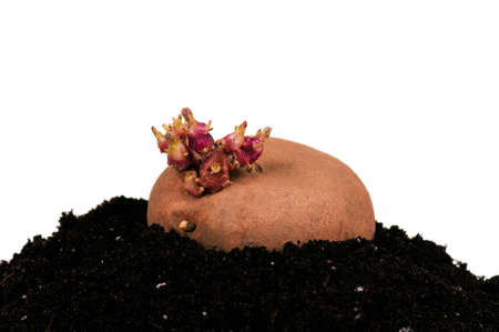 Old potato with sprouts in black soil isolated on white background photo