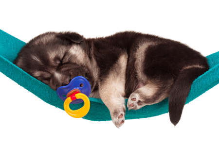 weenie: Cute sleeping puppy of 3 weeks old in a hammock on a white background Stock Photo