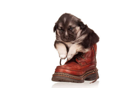 Cute puppy in old boot on a white background photo