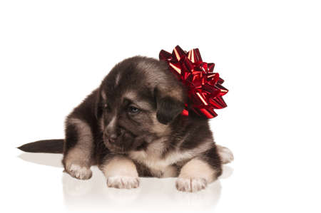 Cute puppy of 3 weeks old with red bow on a white background photo