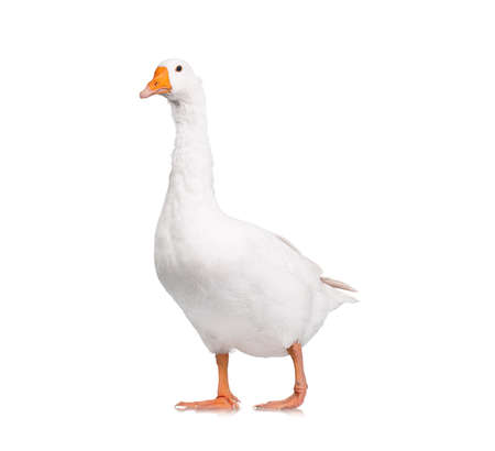 out of production: White domestic goose isolated on white background Stock Photo