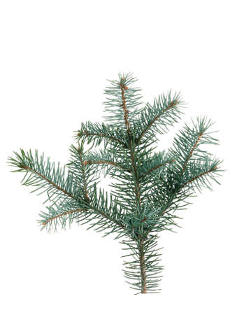 Little green fir branch isolated on white background photo