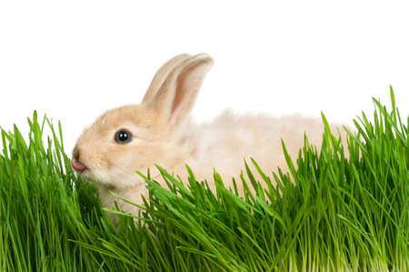 Portrait of adorable rabbit in green grass on white background photo