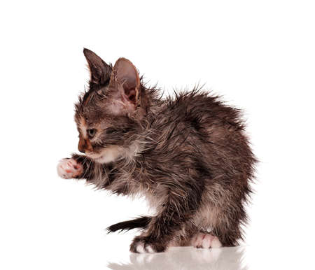 Wet little kitten isolated on white background Stock Photo - 15935441