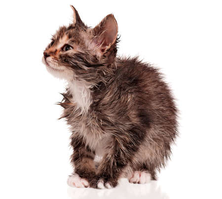 Wet little kitten isolated on white background Stock Photo - 15935440