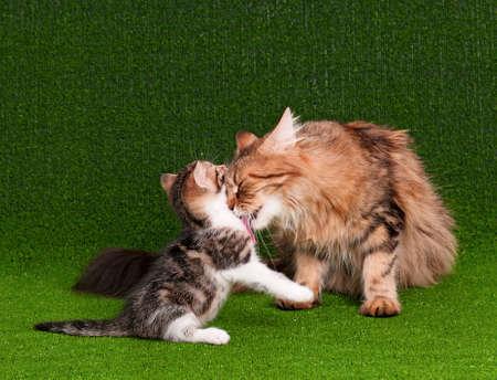 cat grooming: Cat grooming her kitten on artificial green grass
