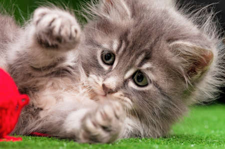 Cute gray kitten playing red clew of thread on artificial green grass Foto de archivo