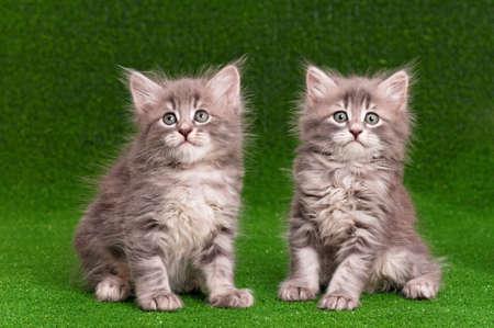 Cute gray kittens on artificial green grass photo