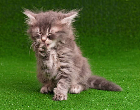 Cute gray kitten on artificial green grass photo