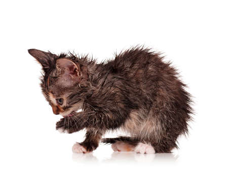 Wet little kitten isolated on white background Stock Photo - 16384557