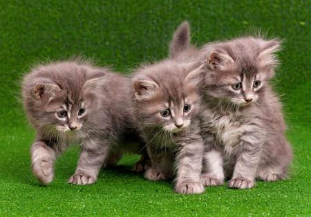 Cute gray kittens on artificial green grass Stock Photo - 17579420