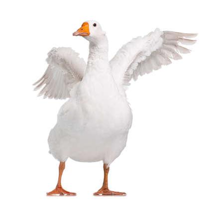 White domestic goose isolated on white background Archivio Fotografico