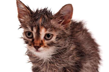 Wet little kitten isolated on white background Stock Photo - 17579400