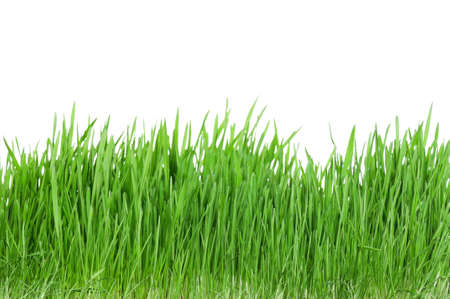 pastures: Fresh green wheat grass isolated on white background