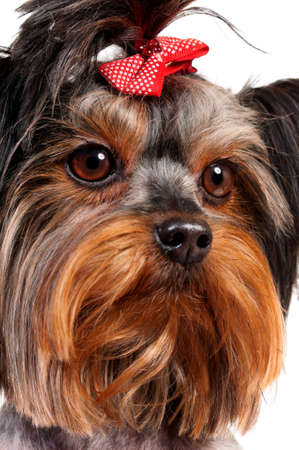 Close-up portrait of  Yorkshire Terrier, 3 years old, on white background photo