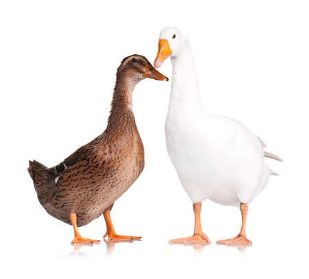 White domestic goose and duck isolated on white background Stock Photo