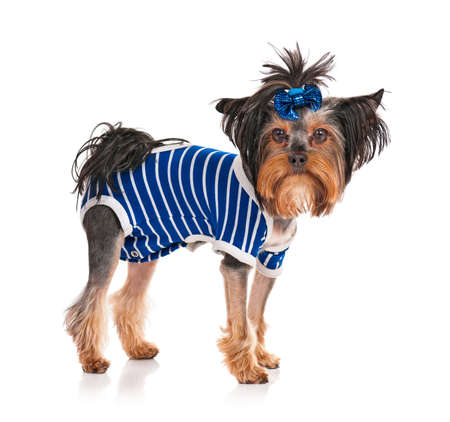 Dressed Yorkshire Terrier, 3 years old, isolated on white background Stock Photo - 19272132