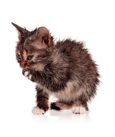 detestable: Wet little kitten isolated on white background
