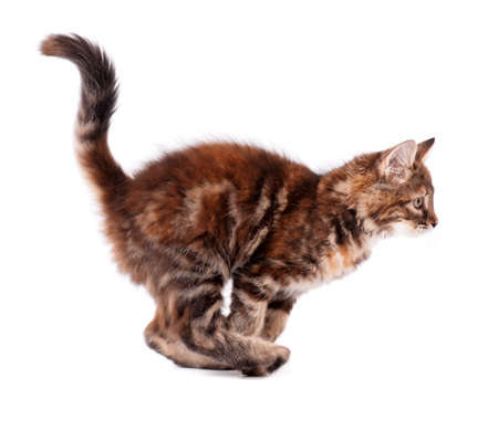 Running cute kitten, isolated on white background  photo
