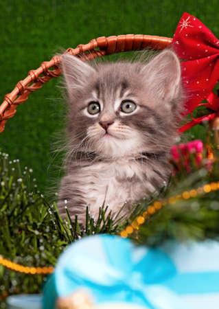Close-up portrait of a beautiful gray kitten photo