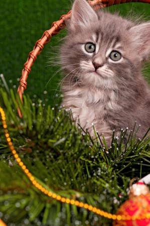 christmas pussy: Cute gray kitten with Christmas fir tree on artificial green grass