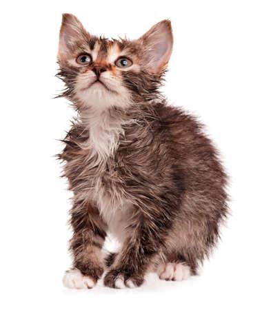 detestable: Wet shorthair kitten isolated on white background