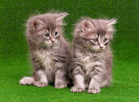 Cute gray kittens on artificial green grass