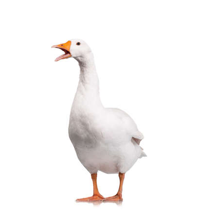 White domestic goose isolated on white background Stock Photo