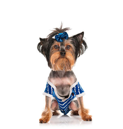 Dressed Yorkshire Terrier, 3 years old, isolated on white background photo